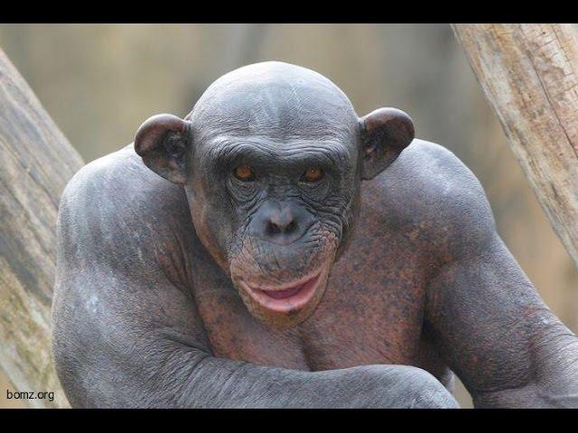 Лаби маймуни тарошидагӣ