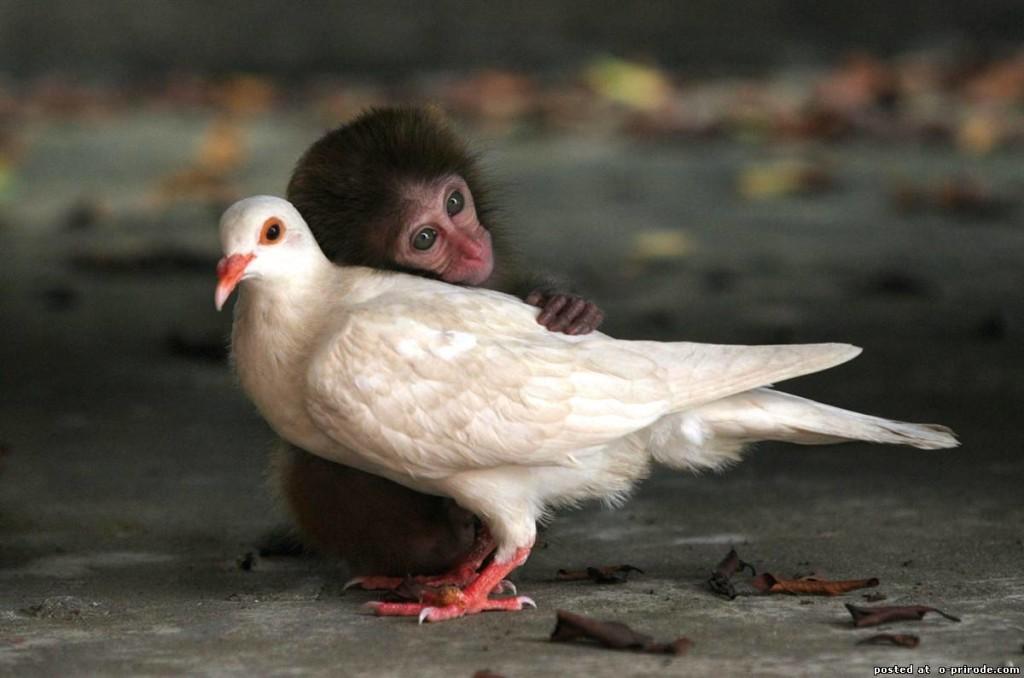Сурат – расми ошиқии маймун ва кафтар (дустдорӣ – дуст доштан)
