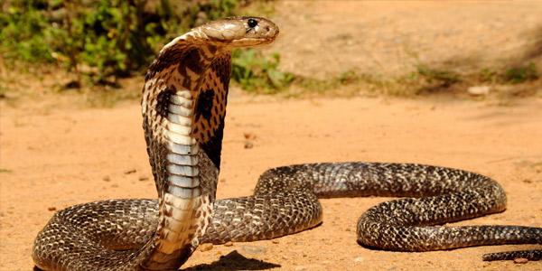 Мор (кобра)